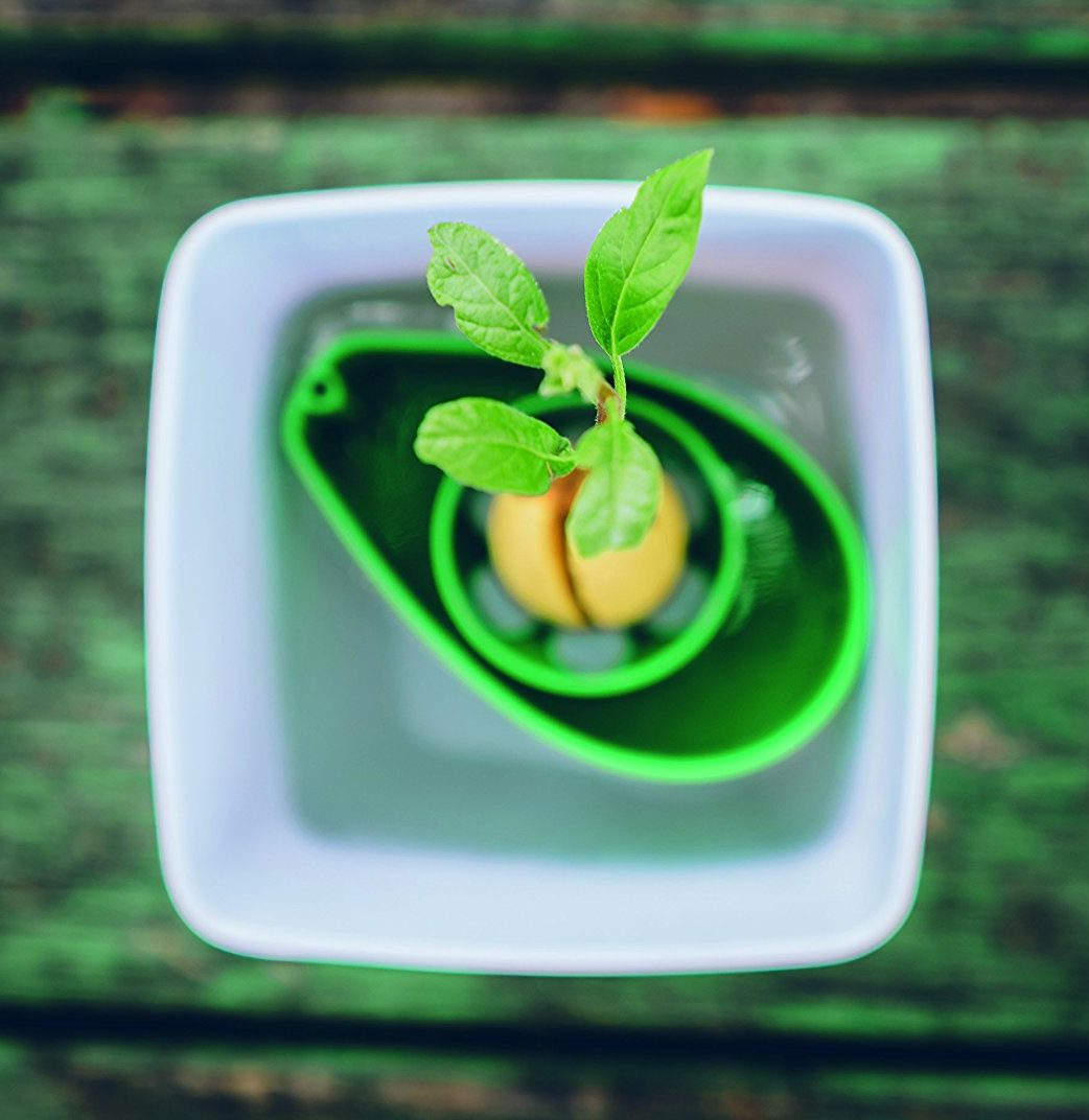 Nocciolo Di Avocado In Acqua kit coltivazione albero di avocado - idee regalo per